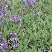 Spanischer Salbei (Salvia lavandulifolia), blühend