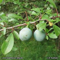 Schlehe (Prunus spinosa), unreife Früchte