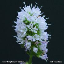 Krauseminze (Mentha aquatica varietät crispa), Blütenstand