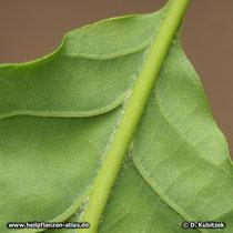 Trauben-Eiche (Quercus petraea), keilförmiger Blattgrund, Blattunterseite