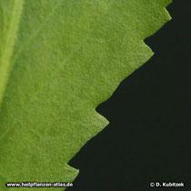 Kalifornisches Gummikraut, Grindelia robusta, Blatt Oberseite