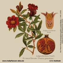 Granatapfelbaum; Punica granatum; Historisches Bild
