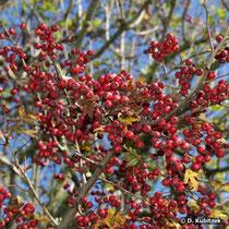 Eingriffeliger Weißdorn (Crataegus monogyna), Früchte