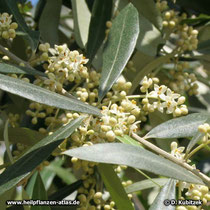Ölbaum (Olea europaea), Zweig mit Blüten und Blättern