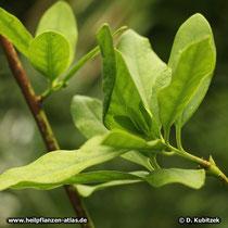 Echter Sternanisbaum (Illicium verum)