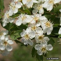 Eingriffeliger Weißdorn (Crataegus monogyna), Blüten