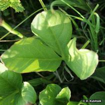 Fieberklee (Menyanthes trifoliata), Blatt