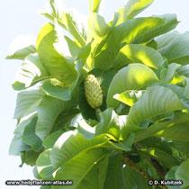 Magnolia officinalis, Zweig mit Frucht
