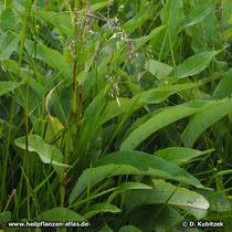 Schlangenwiesen-Knöterich (Persicaria bistorta), Blätter