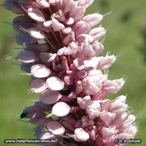 Schlangenwiesen-Knöterich (Persicaria bistorta), Blütenstand