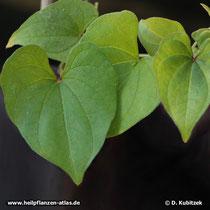 Yamswurzel (Dioscorea oppositifolia)