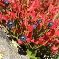 Heidelbeere (Vaccinium myrtillus), Strauch mit Früchten und Laubfärbung im Herbst