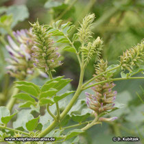 Ural-Süßholz (Glycyrrhiza uralensis) vor der Blüte