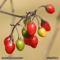 Bittersüßer Nachtschatten (Solanum dulcamara), Früchte