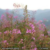 Schmalblättriges Weidenröschen (Epilobium angustifolium), Blütenstände