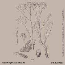 Färberwaid, Isatis tinctoria, Historisches Bild