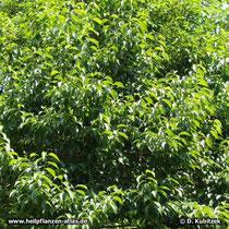 Chinesischer Guttaperchabaum (Eucommia ulmoides), Wuchsform