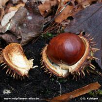 Rosskastanie (Aesculus hippocastanum), Samen