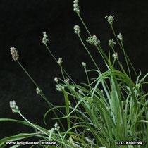 Indischer Flohsamen (Plantago ovata), Wuchsform