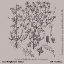 Echte Kamille (Matricaria recutita), historische Grafik
