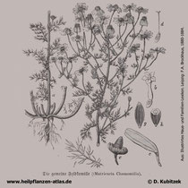 Echte Kamille, Matricaria recutita, Historische Grafik