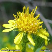 Echte Goldrute Bütenstand (Blütenkorb)
