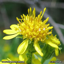 Echte Goldrute (Solidago virgaurea), Bütenstand (Blütenkorb)
