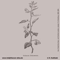 Bittersüßer Nachtschatten, Solanum dulcamara
