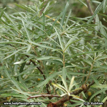 Sanddorn (Hippophae rhamnoides): Zweig