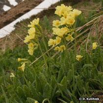 Hohe Schlüsselblume (Primula elatior), Standort Gebirge