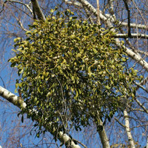 Mistel (Viscum album) wächst als Halbschmarotzer auf einem Baum als Wirtspflanze