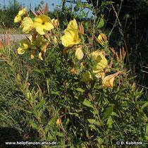Rotkelchige Nachtkerze (Oenothera glazioviana, synonym Oenothera lamarckiana), Wuchsform