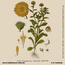 Garten-Ringelblume, Calendula officinalis, Historisches Bild