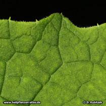 Himalayascharte, Saussurea costus, Blatt Oberseite