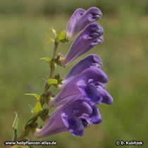 Baikal-Helmkraut (Scutellaria baicalensis)