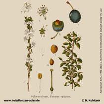 Schlehe, Prunus spinosa, Historisches Bild
