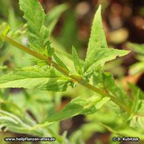 Kleinblütiges Weidenröschen (Epilobium parviflorum), Stängel