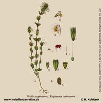 Augentrost (Euphrasia officinalis), Historisches Bild