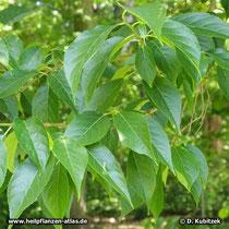 Chinesischer Guttaperchabaum (Eucommia ulmoides), Zweig