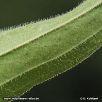 Auch die Blatt-Unterseite ist beim Blassen Sonnenhut (Echinacea pallida) behaart.