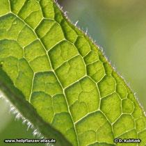 Das Beinwell-Blatt  (Gewöhnlicher Beinwell, Symphytum officinale) trägt wie alle grünen Pflanzenteile borstige Haare. Sie dienen als Schutz vor Fraßfeinden.
