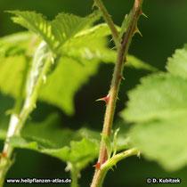 Brombeere Brombeere (Rubus fruticosus), Dornen