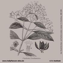 Gelber Chinarindenbaum; Cinchona calisaya; Historisches Bild