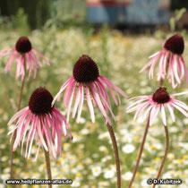 Blasser Sonnenhut (Echinacea pallida), blühend