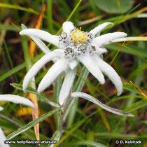 Edelweiß (Alpen-Edelweiß, Leontopodium nivale ssp. alpinum)