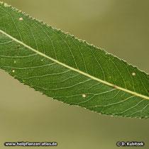 Bruch-Weide (Salix fragilis), Blatt Oberseite