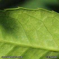 Mateblatt Unterseite (Mate-Strauch, Ilex paraguariensis),
