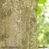 Schnabel-Esche (Fraxinus rhynchophylla), Borke