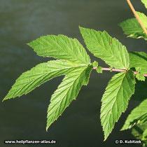 Mädesüß Blätter