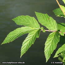 Echtes Mädesüß (Filipendula ulmaria), Blätter